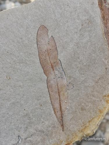 Fosilizovani list u laporcu